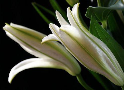 белая лилия полезные свойства и применение в народной медицине