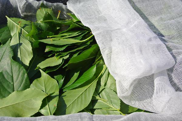 чай из листьев яблони полезные свойства и противопоказания