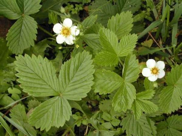 чай из листьев земляники полезные свойства и противопоказания