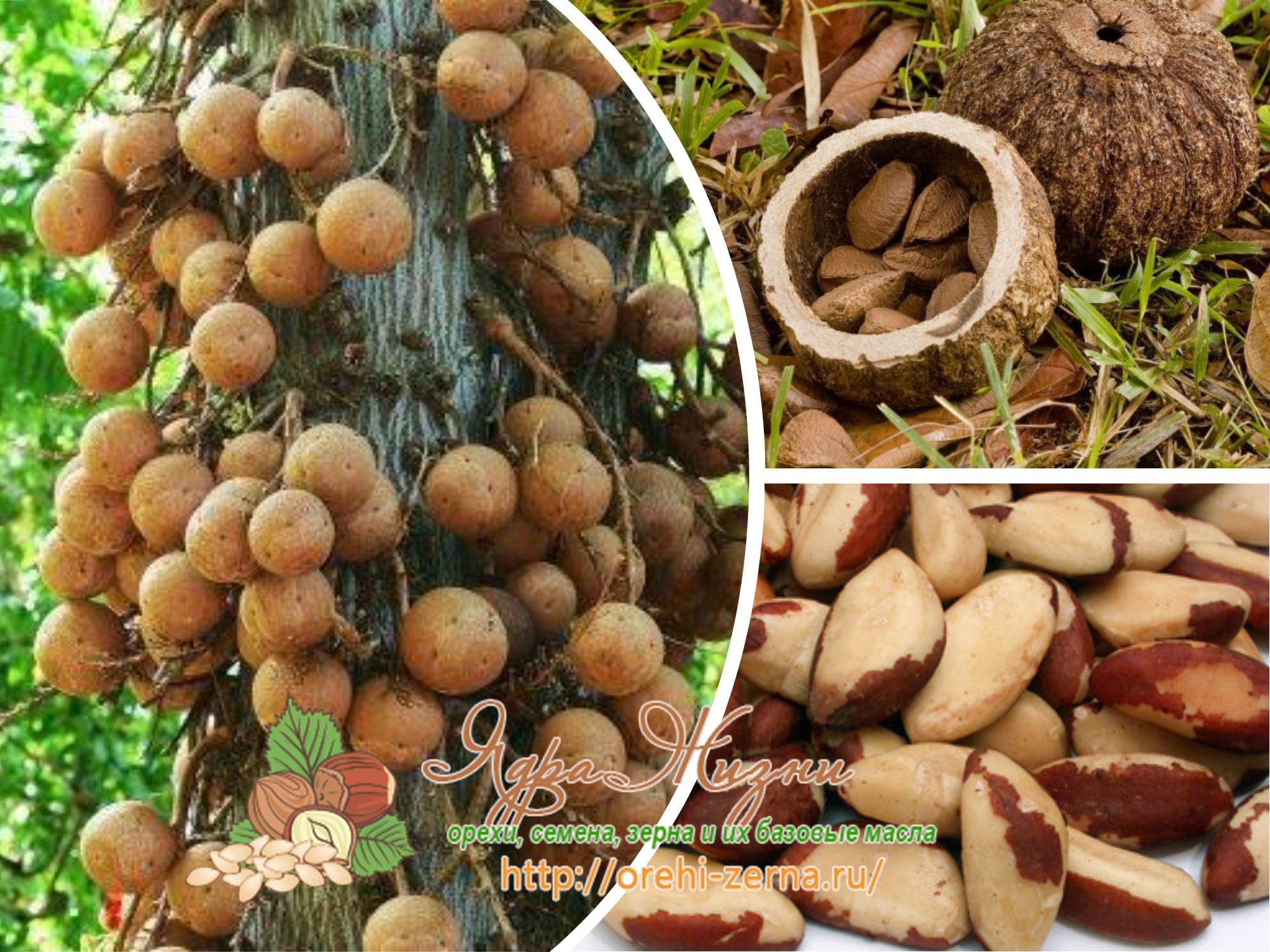 чем полезен бразильский орех для организма человека