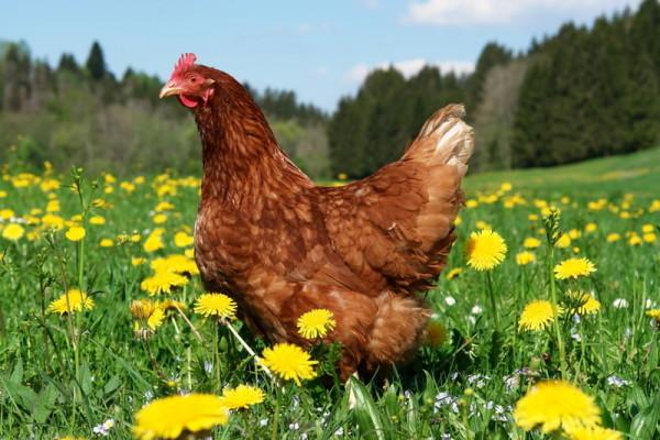чем полезен куриный помет как удобрение как применять