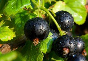 черная смородина полезные свойства и противопоказания при давлении