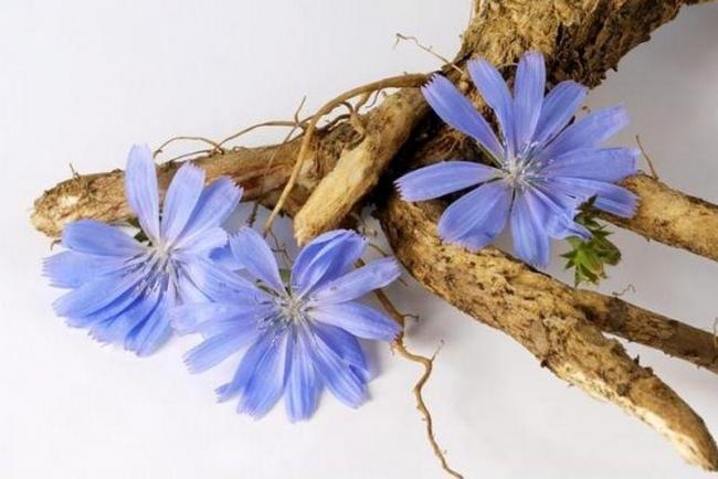 цикорий трава полезные свойства и противопоказания от поноса