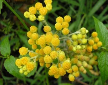 цветы бессмертника полезные свойства и противопоказания для женщин
