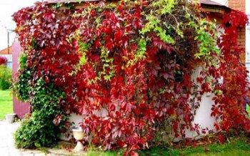 дикий виноград на доме вред или польза