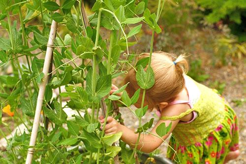 горох зеленый в стручках польза и вред