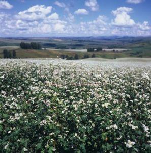 гречиха трава и цветки польза и вред