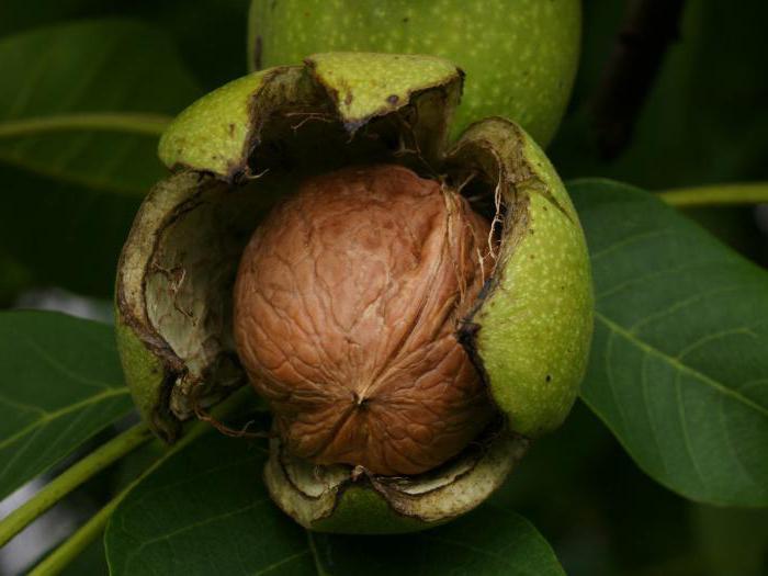 грецкий орех полезные свойства и противопоказания для женщин