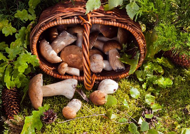 грибы белые подосиновики подберезовики польза и вред