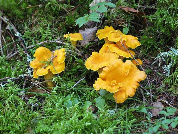 грибы лисички сушеные польза и вред