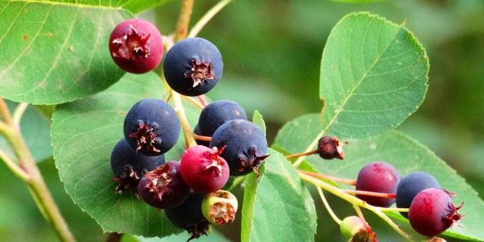 ирга полезные свойства сбор листья цветы стебли кора ягоды