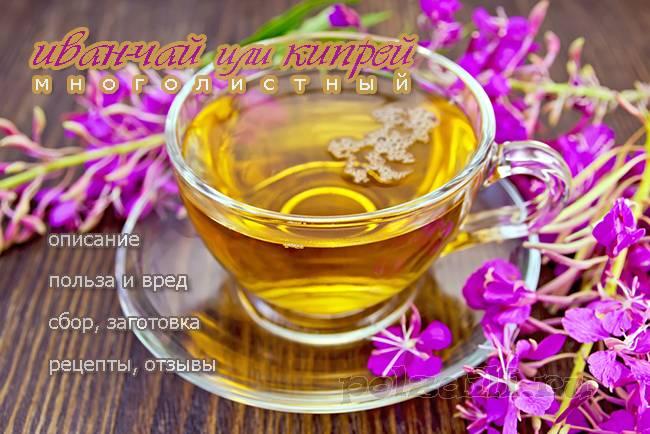 иван чай полезные свойства и противопоказания как заваривать чай