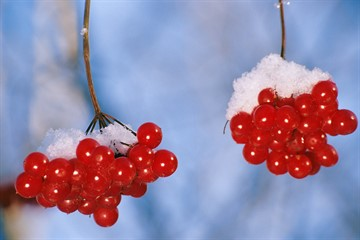 калина красная ягода полезные свойства рецепты от давления