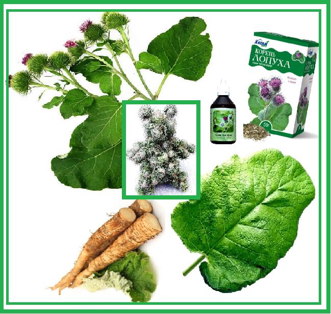 корень и листья лопуха полезные свойства и противопоказания