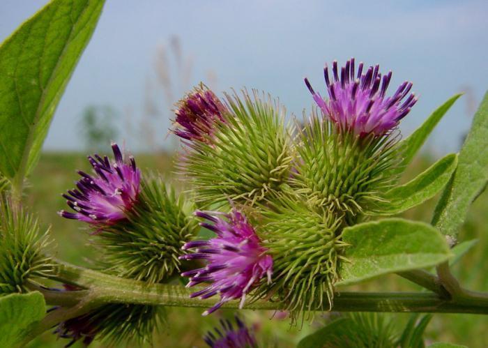 корень лопуха для волос полезные свойства и противопоказания