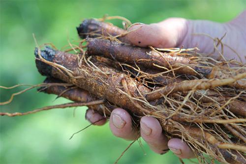 корень лопуха полезные свойства и противопоказания при онкологии