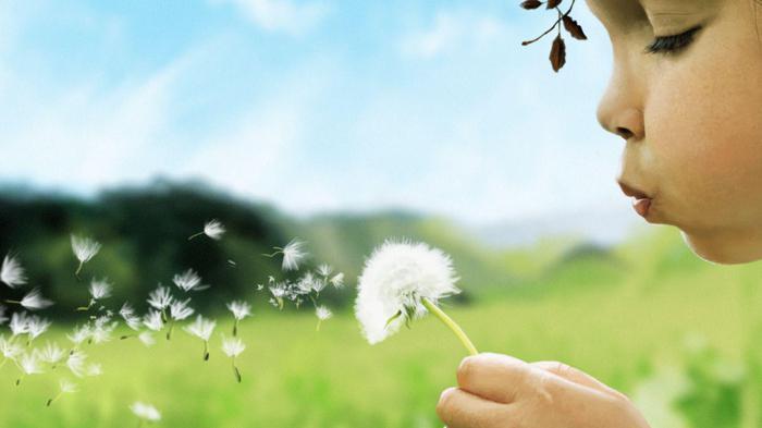 корень одуванчика полезные свойства и противопоказания когда собирать