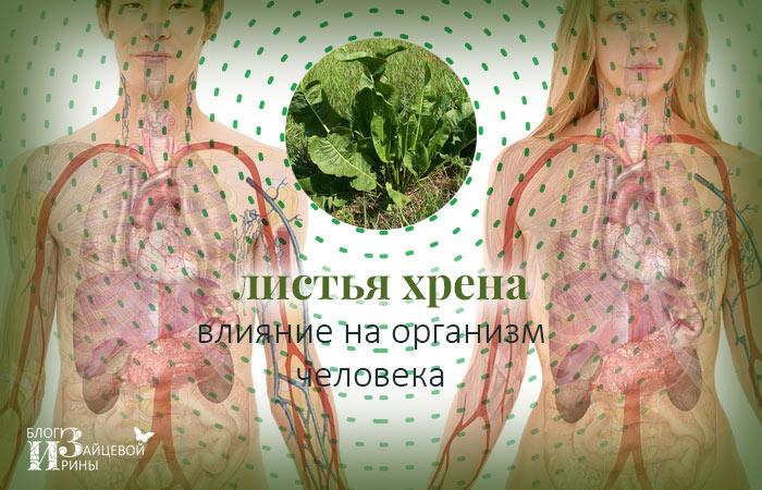 листья хрена полезные свойства и противопоказания для женщин