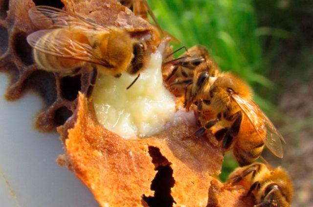 маточное молочко пчелиное полезные свойства для женщин как