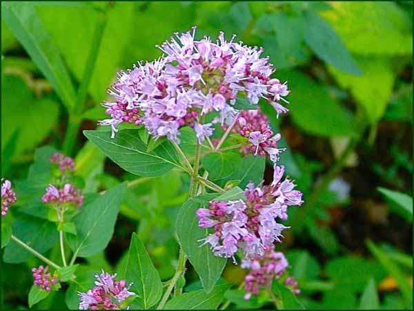 матрешка трава полезные свойства при простуде от кашля