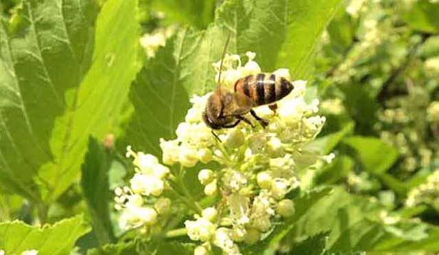 мед из черного клена полезные свойства и противопоказания