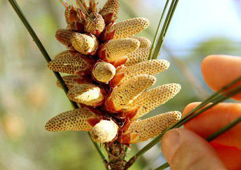 мед с пыльцой сосны полезные свойства и противопоказания