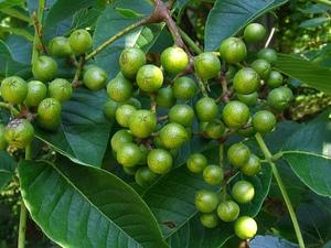 плоды амурского бархата польза и вред