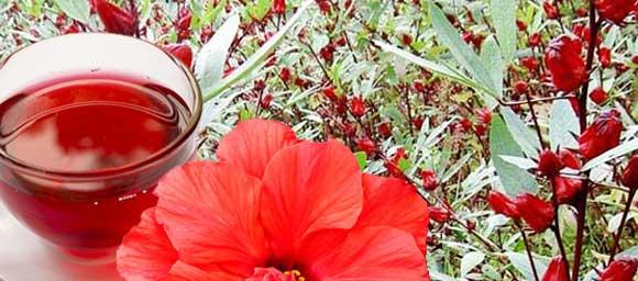 полезные свойства чая каркаде из лепестков суданской розы