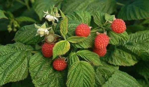 полезные свойства листьев малины и смородины садовой и противопоказания