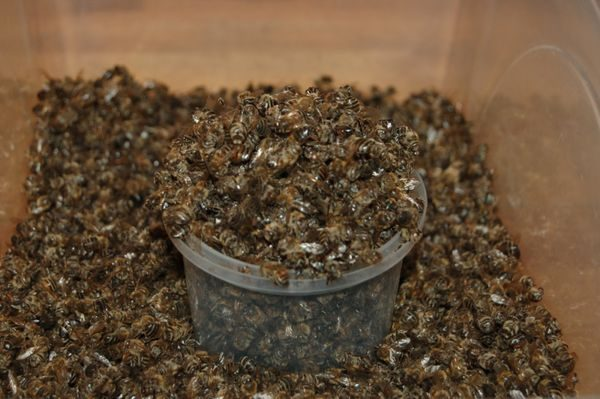 полезные свойства пчелиного подмора и как его принимать