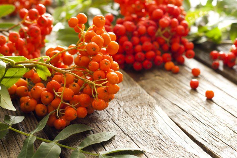 рябина красная полезные свойства и рецепты витаминный напиток