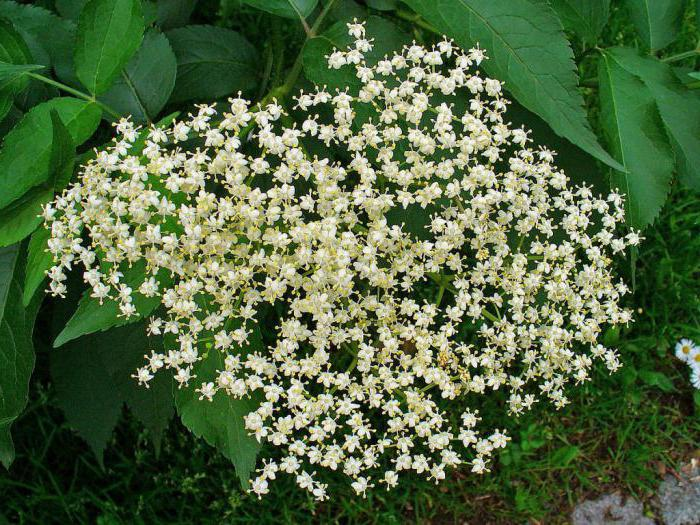 сироп из цветков бузины полезные свойства и противопоказания