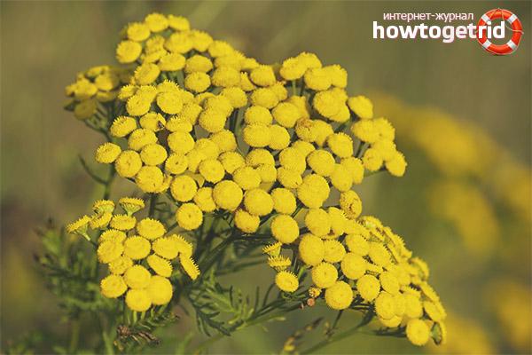 трава пижма лечебные свойства польза и вред