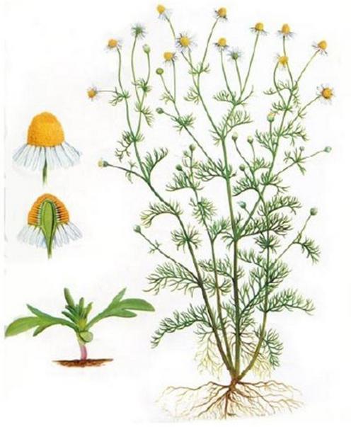 трава ромашка лечебные свойства польза и вред