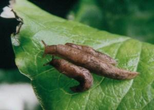 виноградная улитка вред и польза на участке
