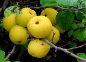 айва японская полезные свойства и лечебные свойства