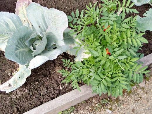 бархатцы польза и вред для огорода