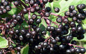 чай из черной бузины полезные свойства и противопоказания