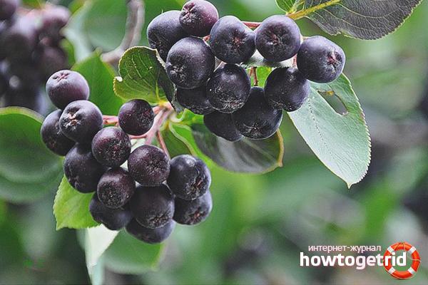 черноплодная сушеная рябина польза и вред