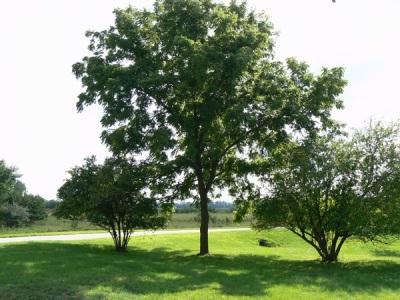 черный орех листья полезные свойства и противопоказания