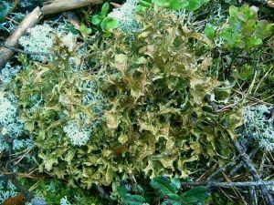 горный мох крымский полезные свойства и противопоказания