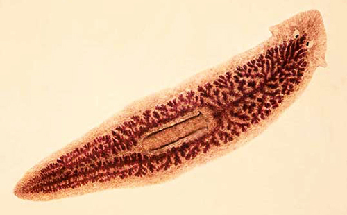 гвоздика пряность полезные свойства и противопоказания глисты