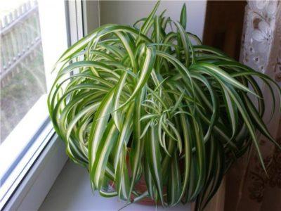 хлорофитум польза и вред для дома