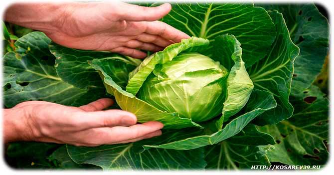 капуста для желудка польза и вред