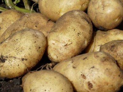 картофель полезные свойства и противопоказания для женщин