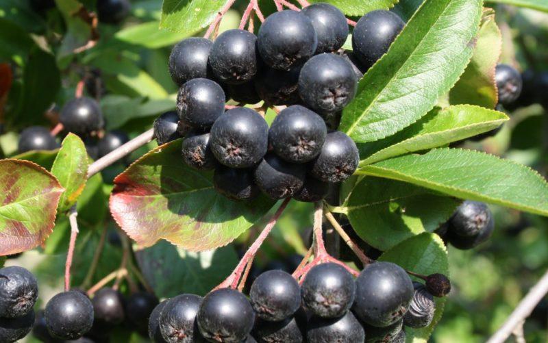 листья черной рябины полезные свойства и противопоказания