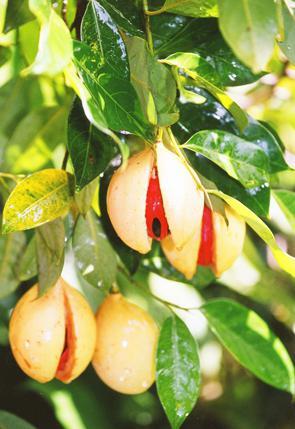 мускатный орех полезные свойства применение и лечение