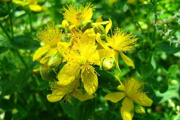 полезные растения для мужчин полезные свойства и противопоказания