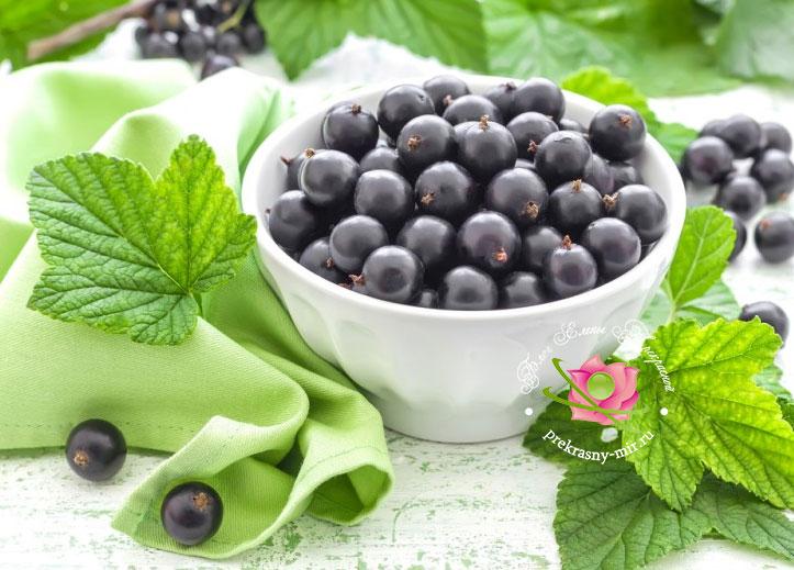 полезные свойства черной смородины для организма человека