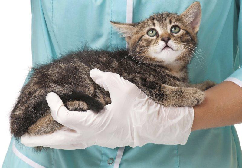 ранняя стерилизация кошек вред или польза